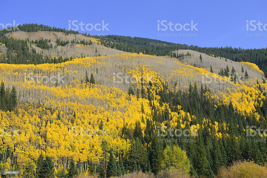 yellow and green aspen of Colorado royalty-free stock photo