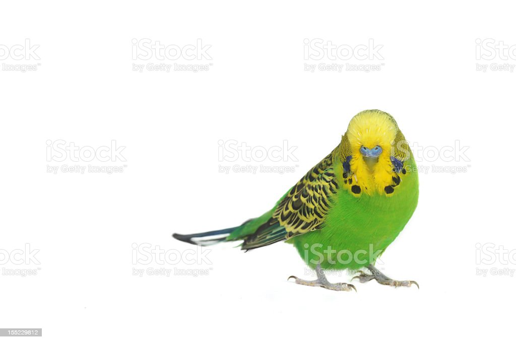 Yellow and green budgerigar parakeet on white background stock photo