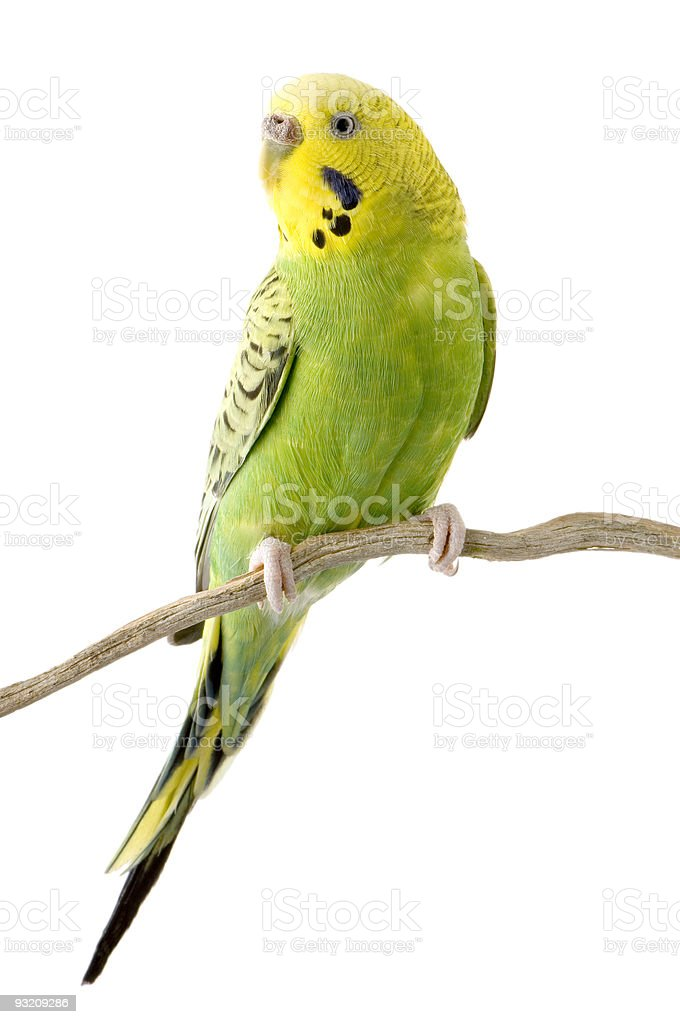 Yellow and green budgie on tree branch against white royalty-free stock photo
