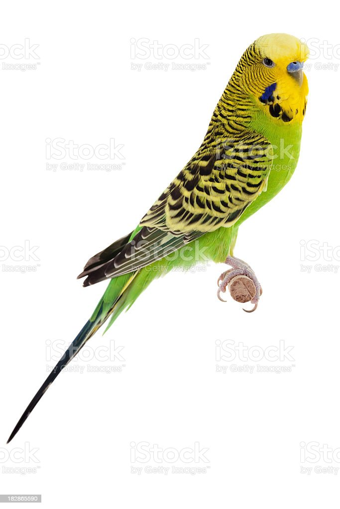 Yellow and Green Budgie stock photo