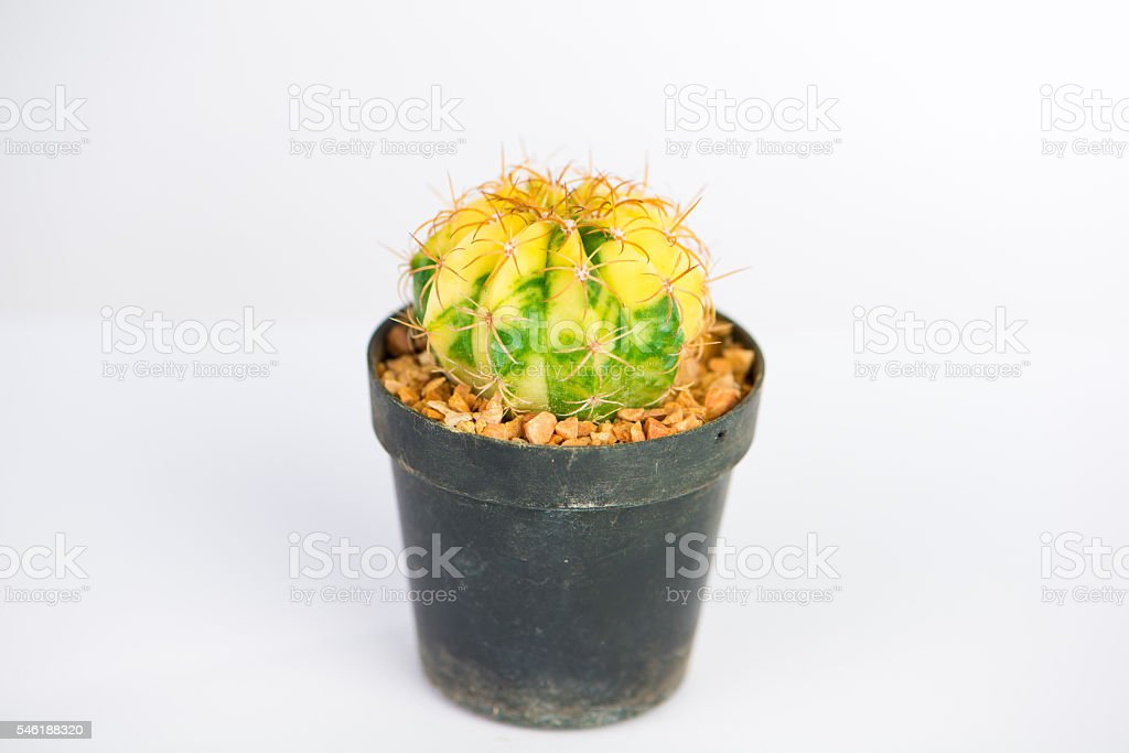 Yellow and green cactus stock photo