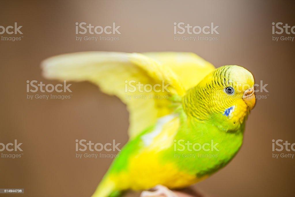 Yellow and Green female budgerigar, parakeet stock photo