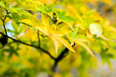 Yellow and green Japanese maple leaves