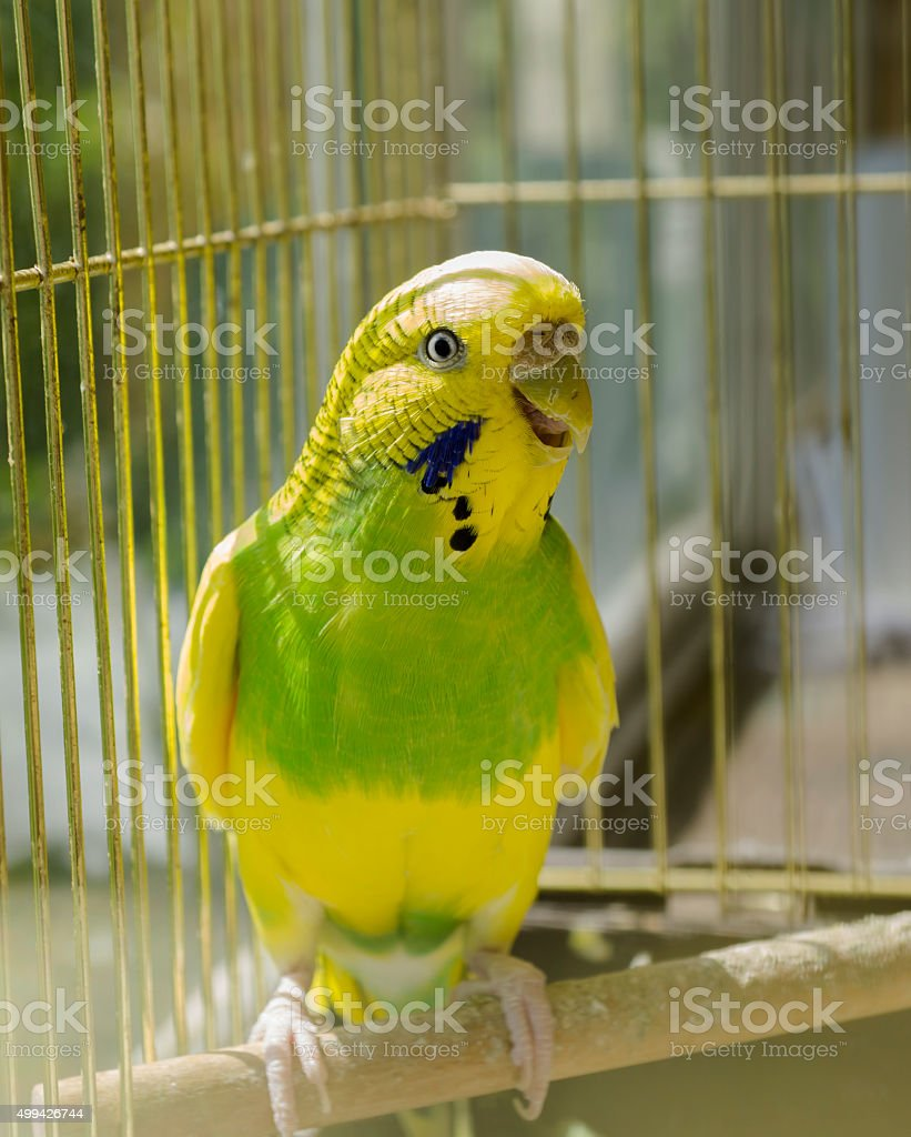 Yellow and green parrot in a golden cage stock photo