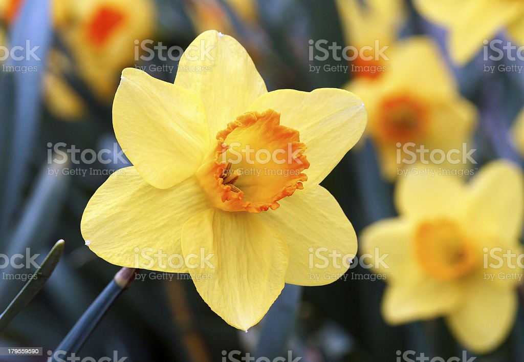 Narciso giallo e arancione foto stock royalty-free