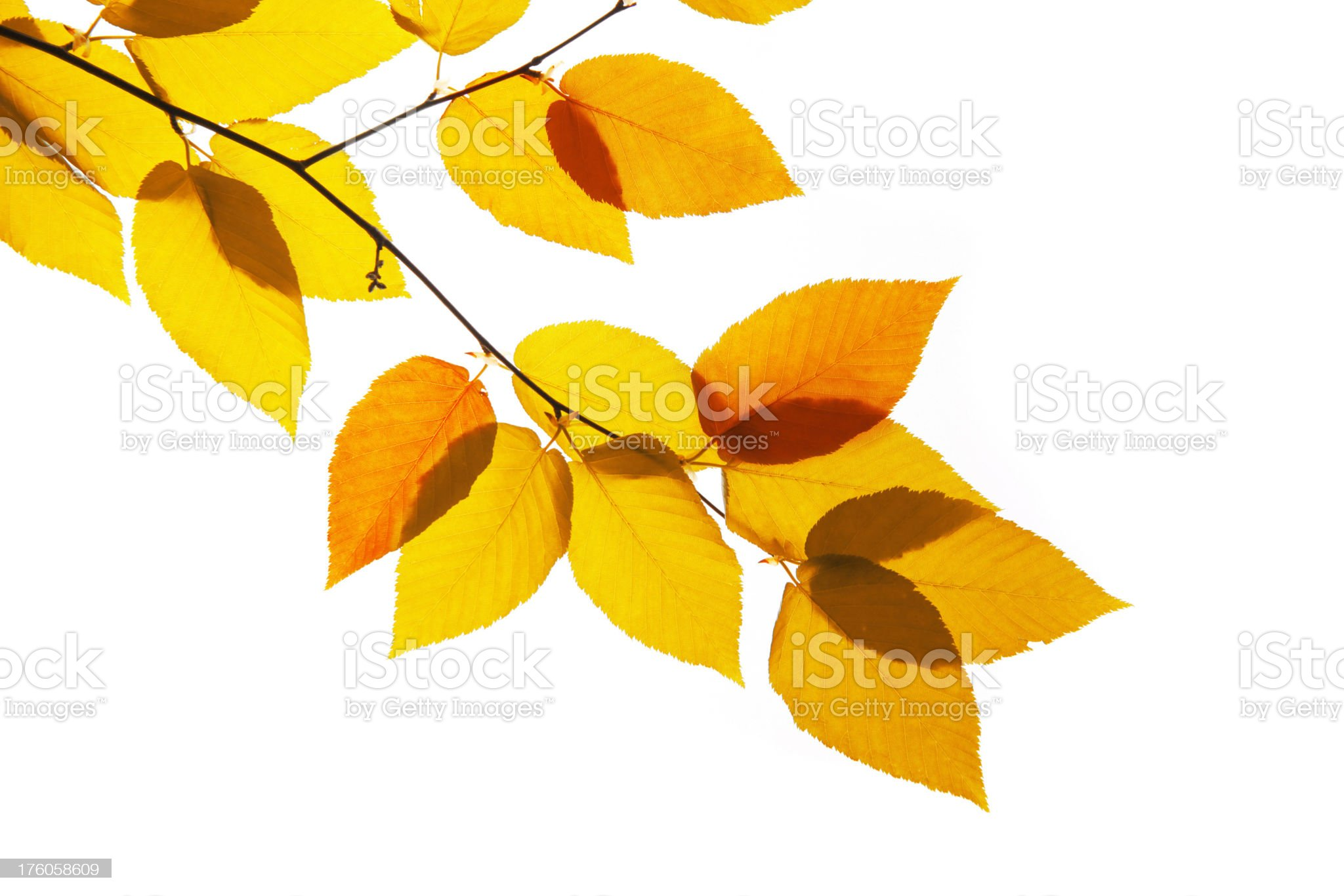Yellow and orange leaves royalty-free stock photo