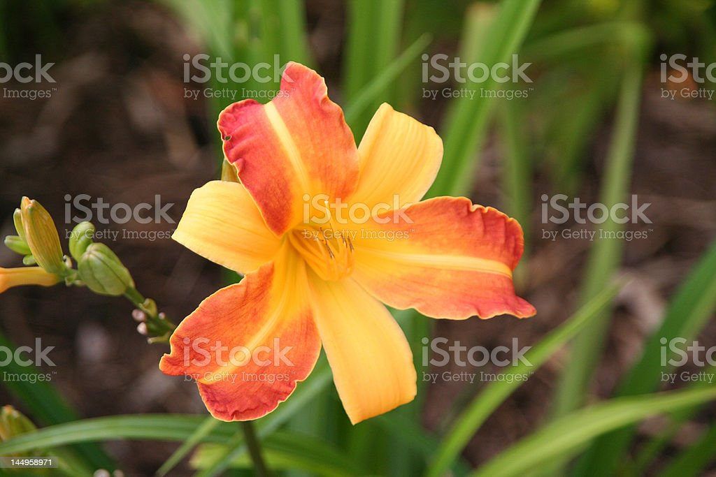 Yellow and Orange Lily stock photo