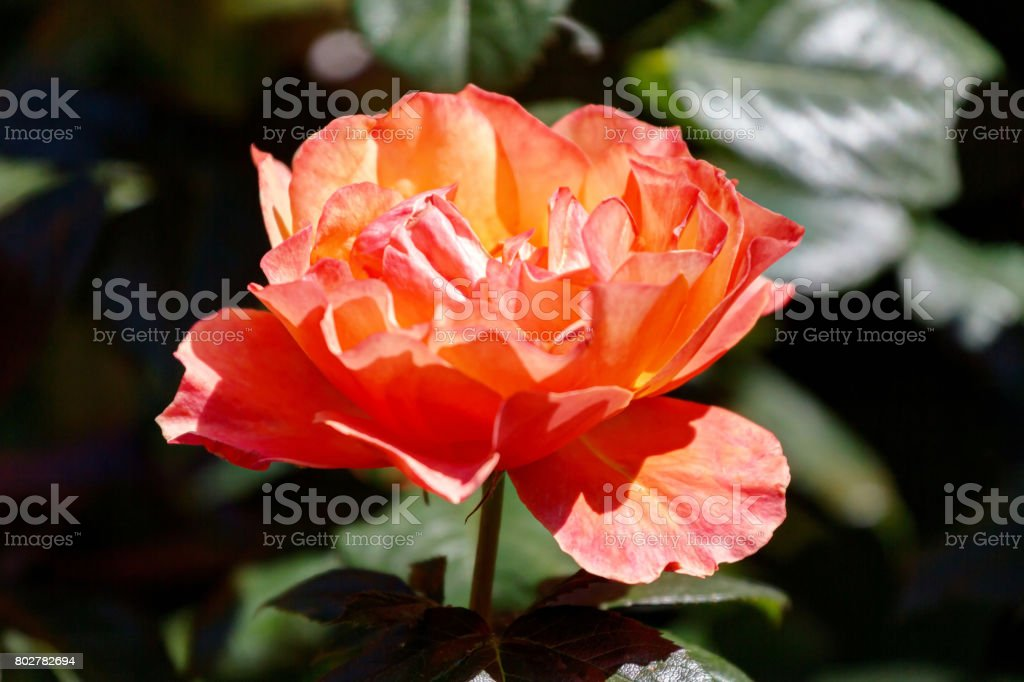 yellow and orange rose in garden stock photo