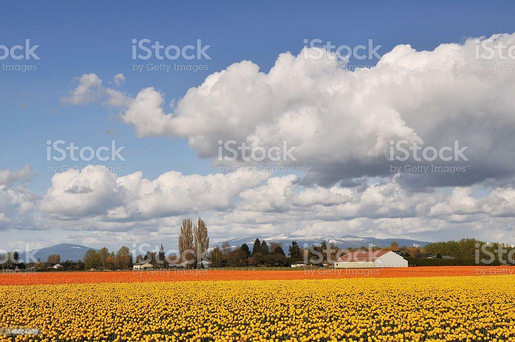 yellow and orange tulips in skagit valley farm stock photo