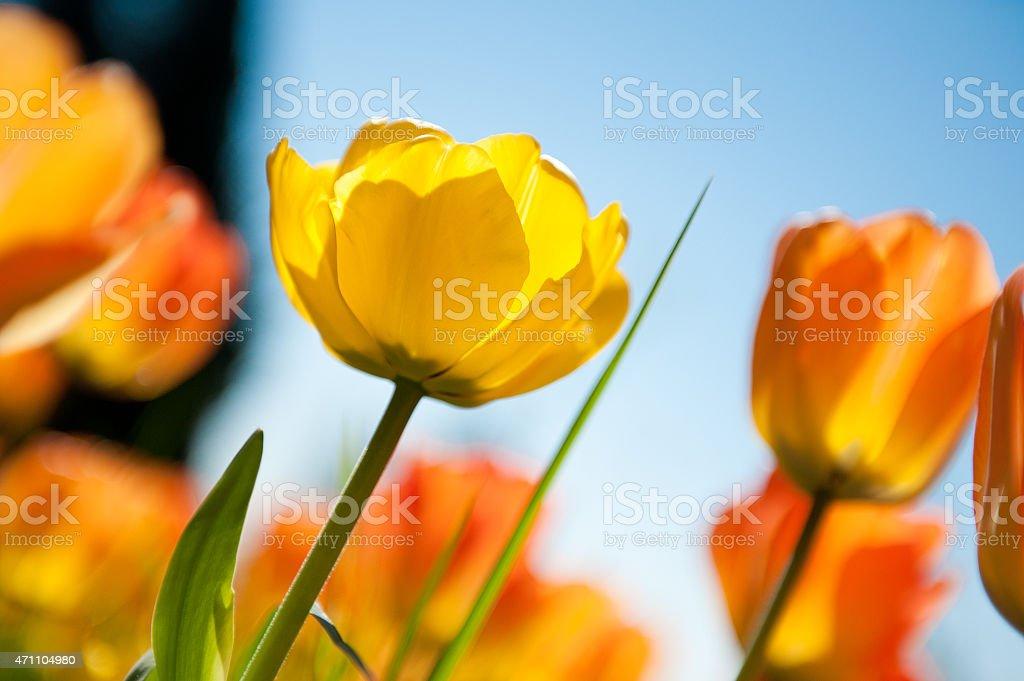 Yellow and Orange Tulips stock photo