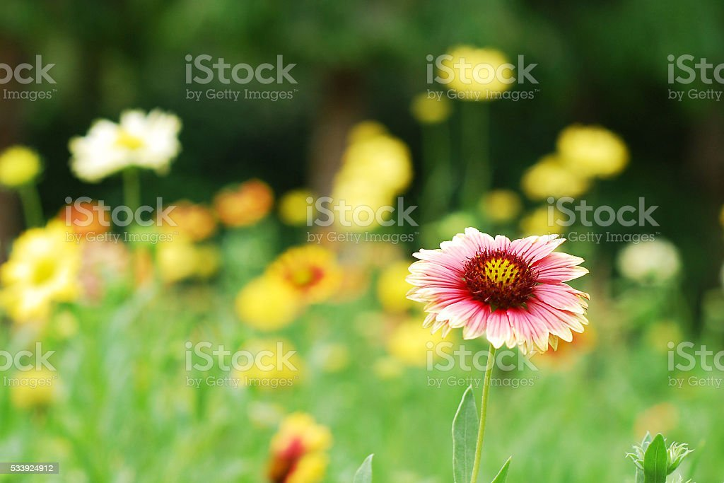 Yellow and pink flower in the garden stock photo