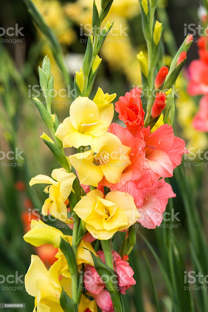 Yellow and pink Gladiolus flowers stock photo