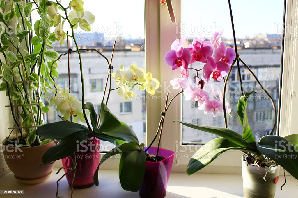 yellow and pink orchids stock photo