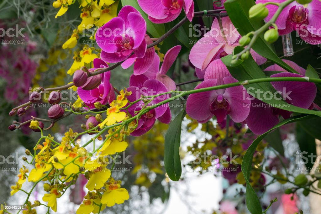 Yellow And Purple Orchids Under The Arbor's Roof stock photo
