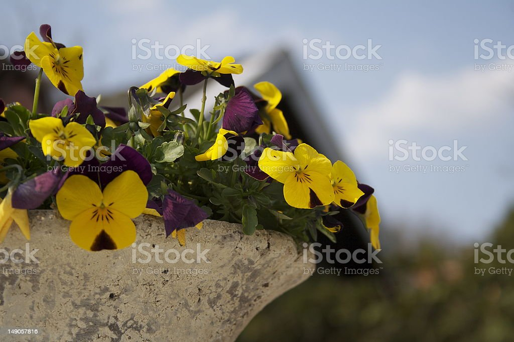 yellow and purple violets royalty-free stock photo