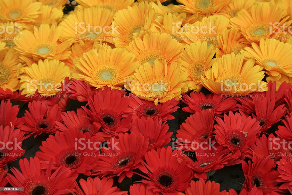 Yellow and Red Bloom stock photo