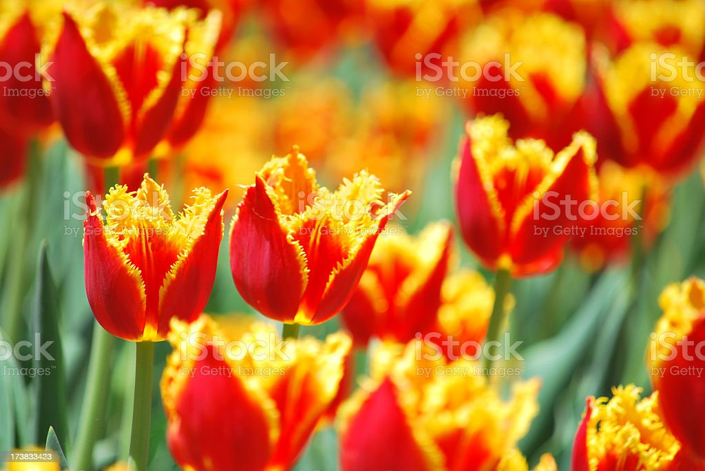 Yellow and red fringed  tulips stock photo