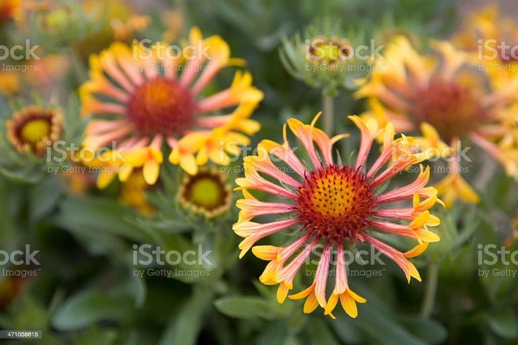 Yellow and Red Gaillardia 'Fanfare' Flowers and Leaves, Boise, Idaho stock photo