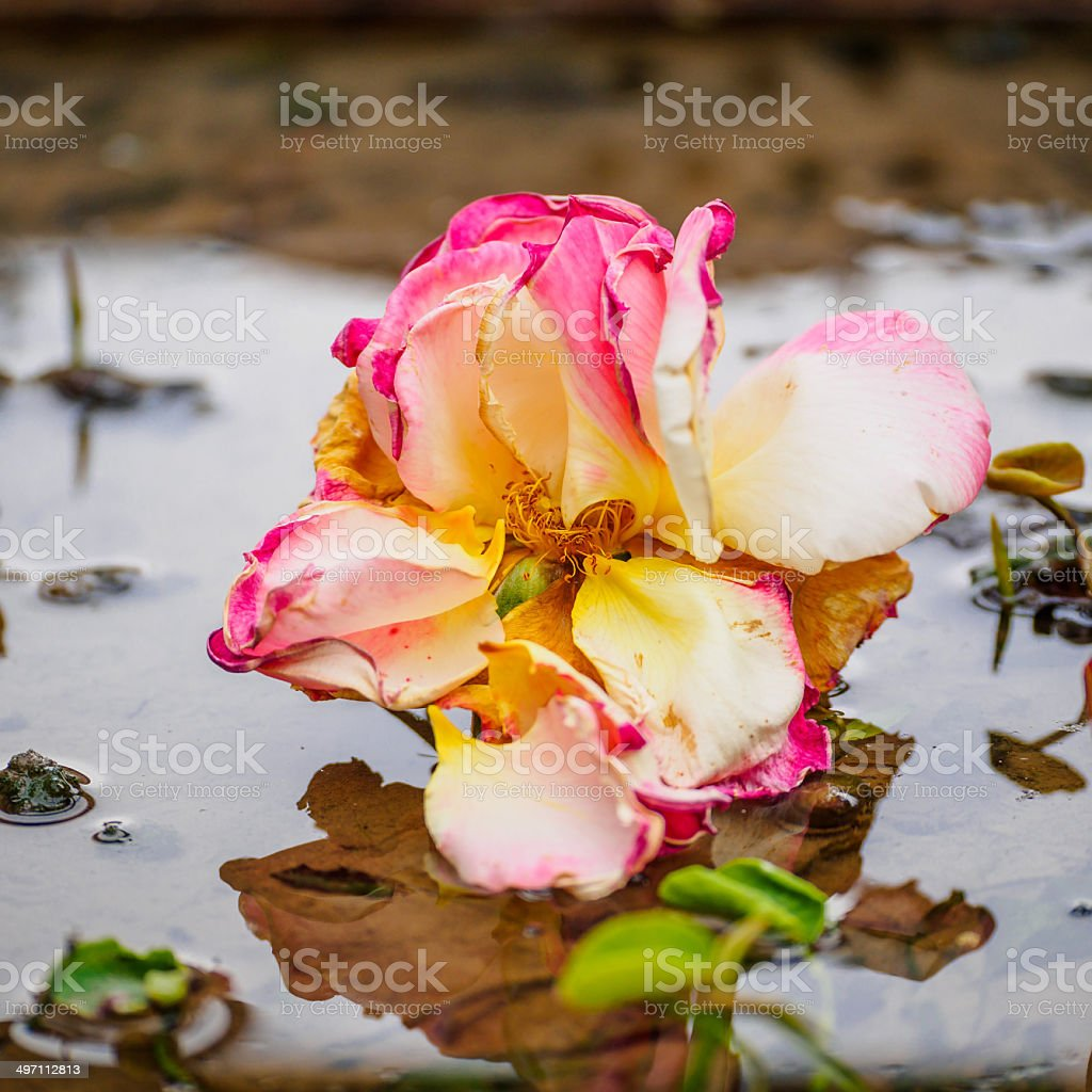 yellow and red rose in mud royalty-free stock photo
