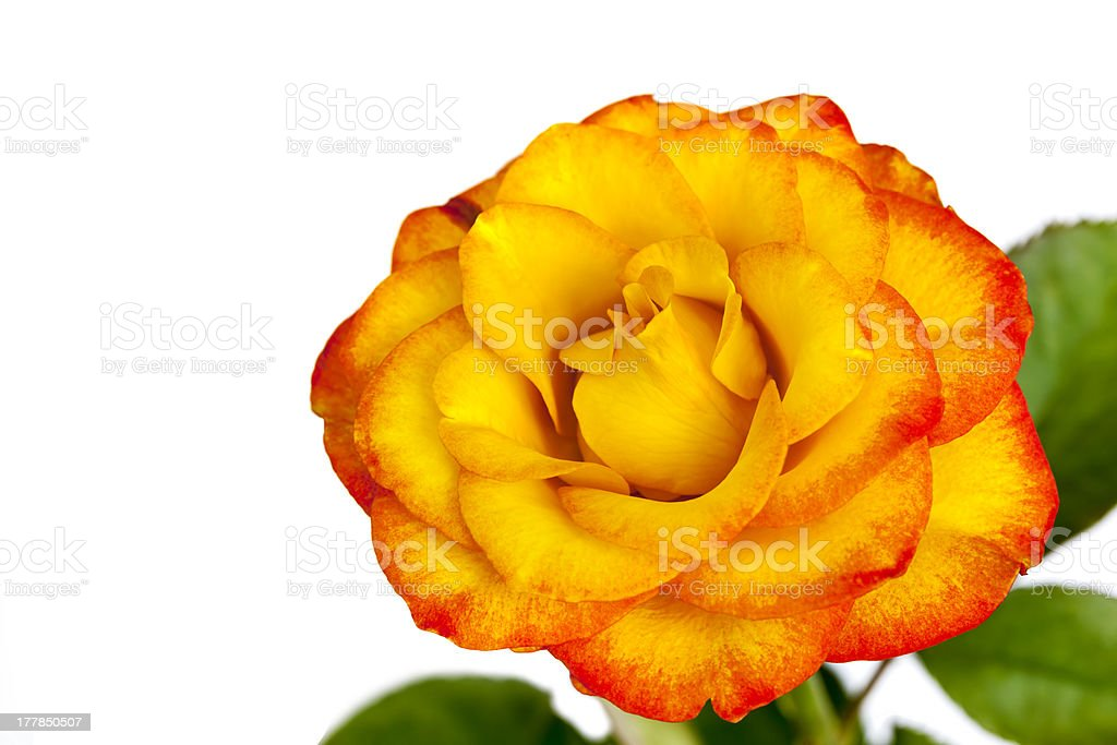 Yellow and Red Rose Isolated stock photo