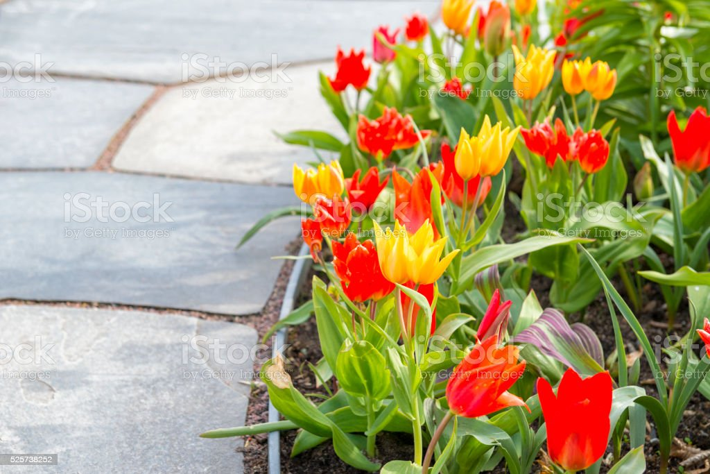 Yellow and red Tulip flowerbed stock photo