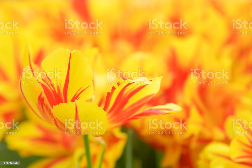 Yellow and red tulip in a flower bed. royalty-free stock photo
