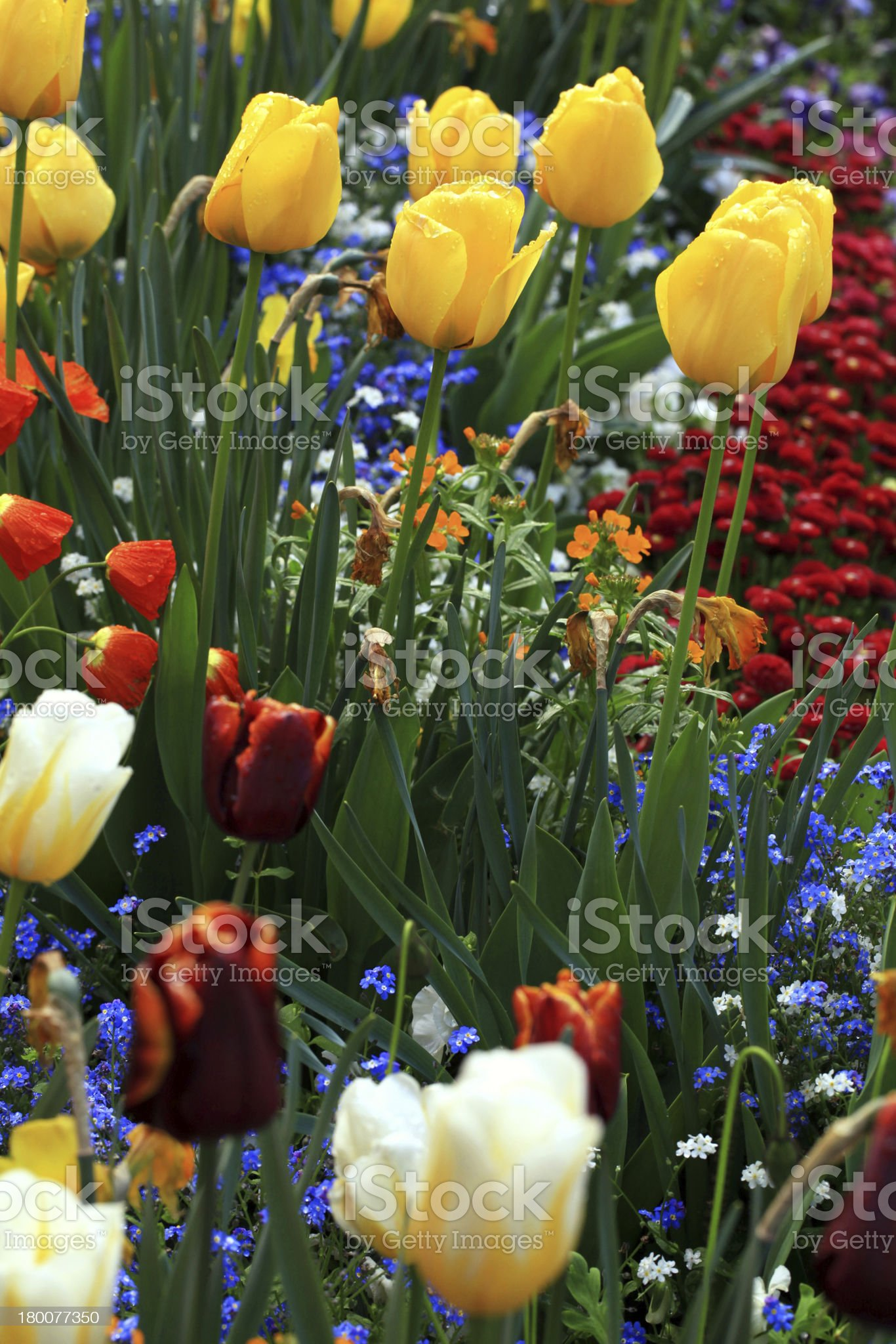 yellow and red tulips in garden royalty-free stock photo