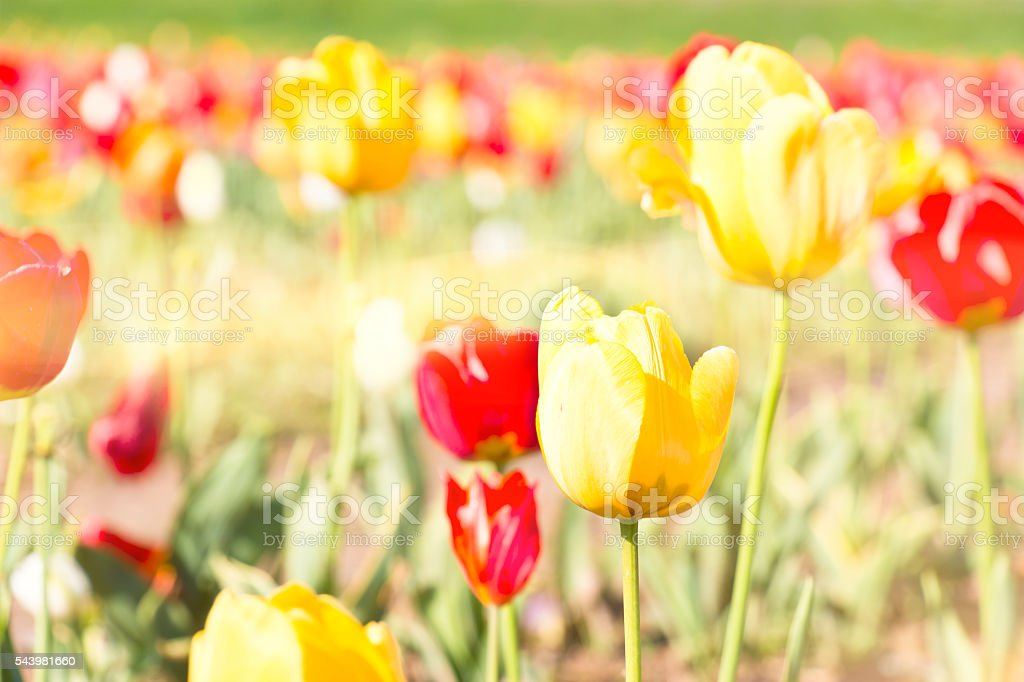 Yellow and Red Tulips in Sunlight stock photo