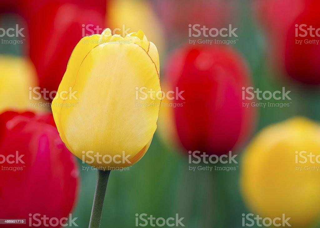 Tulipani gialli e rossi foto stock royalty-free