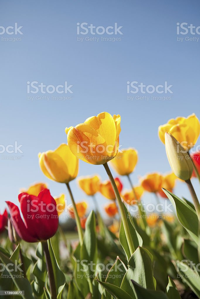 yellow and red tulips with blue sky stock photo