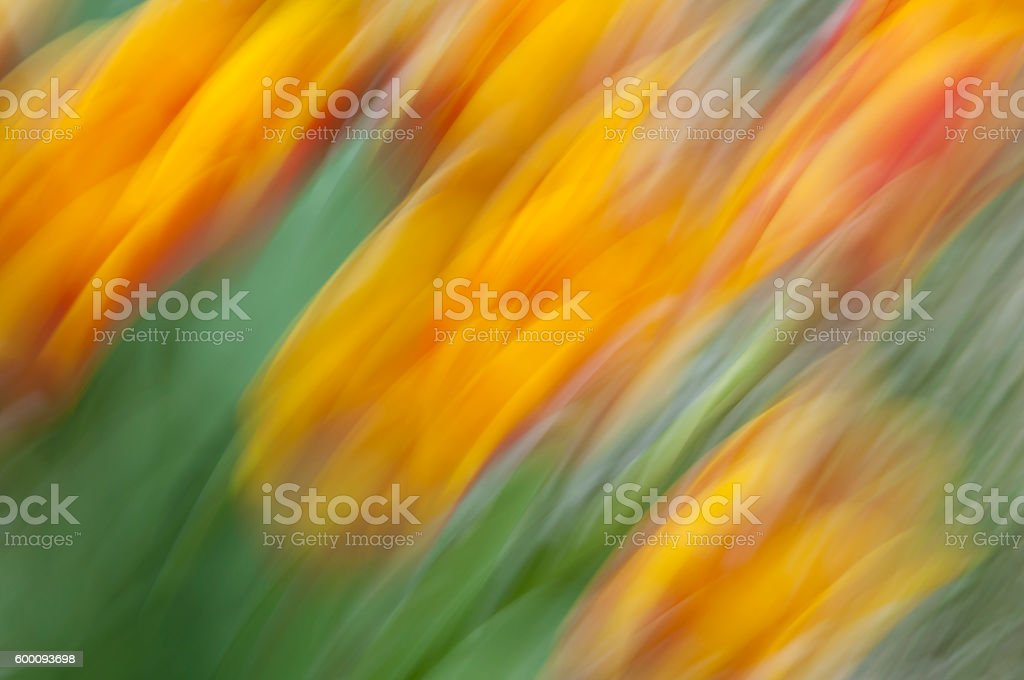 Yellow and red tulips with motion blur effect stock photo