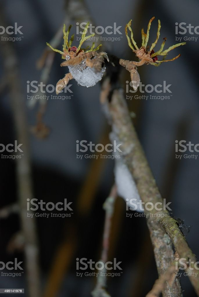 Yellow and Red Witch Hazel Flowers with Blurred Snowy Background royalty-free stock photo