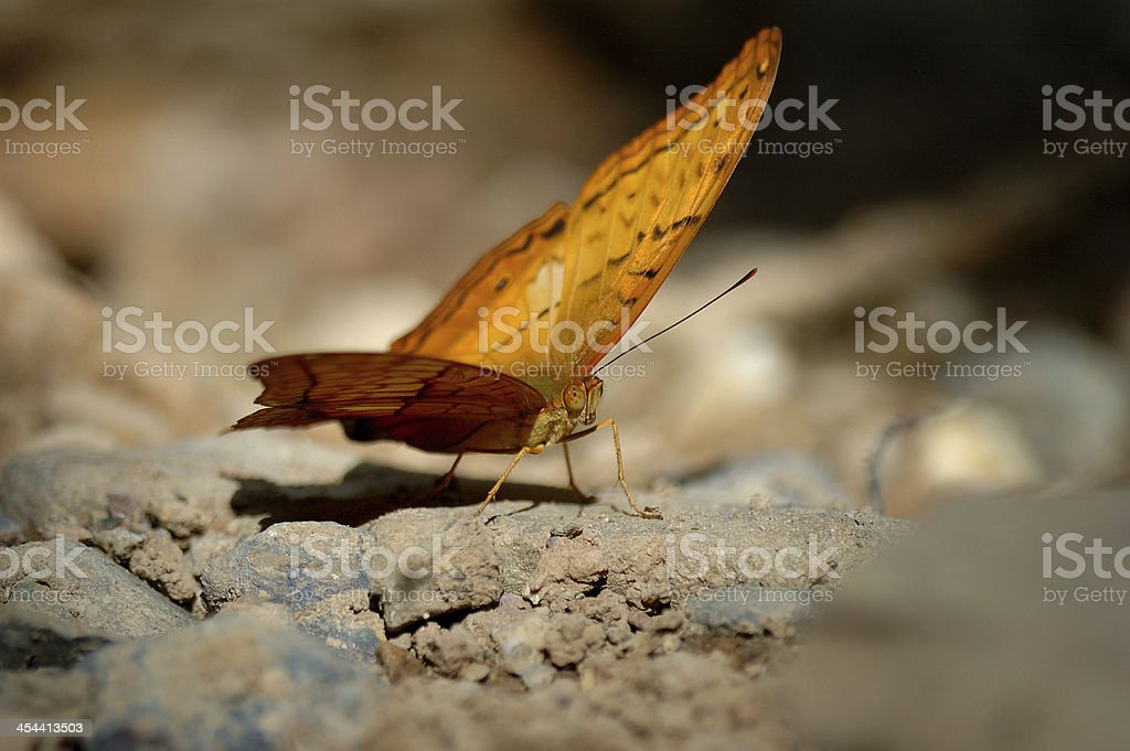 Yellow and Silver-Washed fritillary, sweeping butterfly royalty-free stock photo