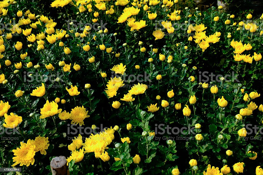Yellow and white blossom Chrysanthemum flower, with black backgr royalty-free stock photo