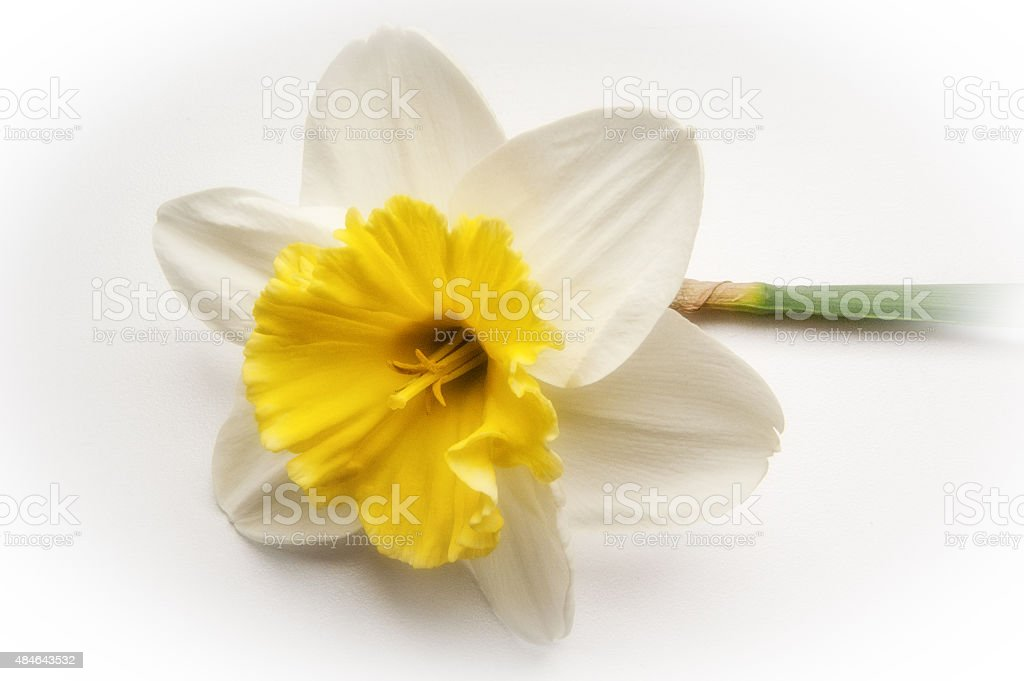 yellow and white daffodil flower on white background stock photo