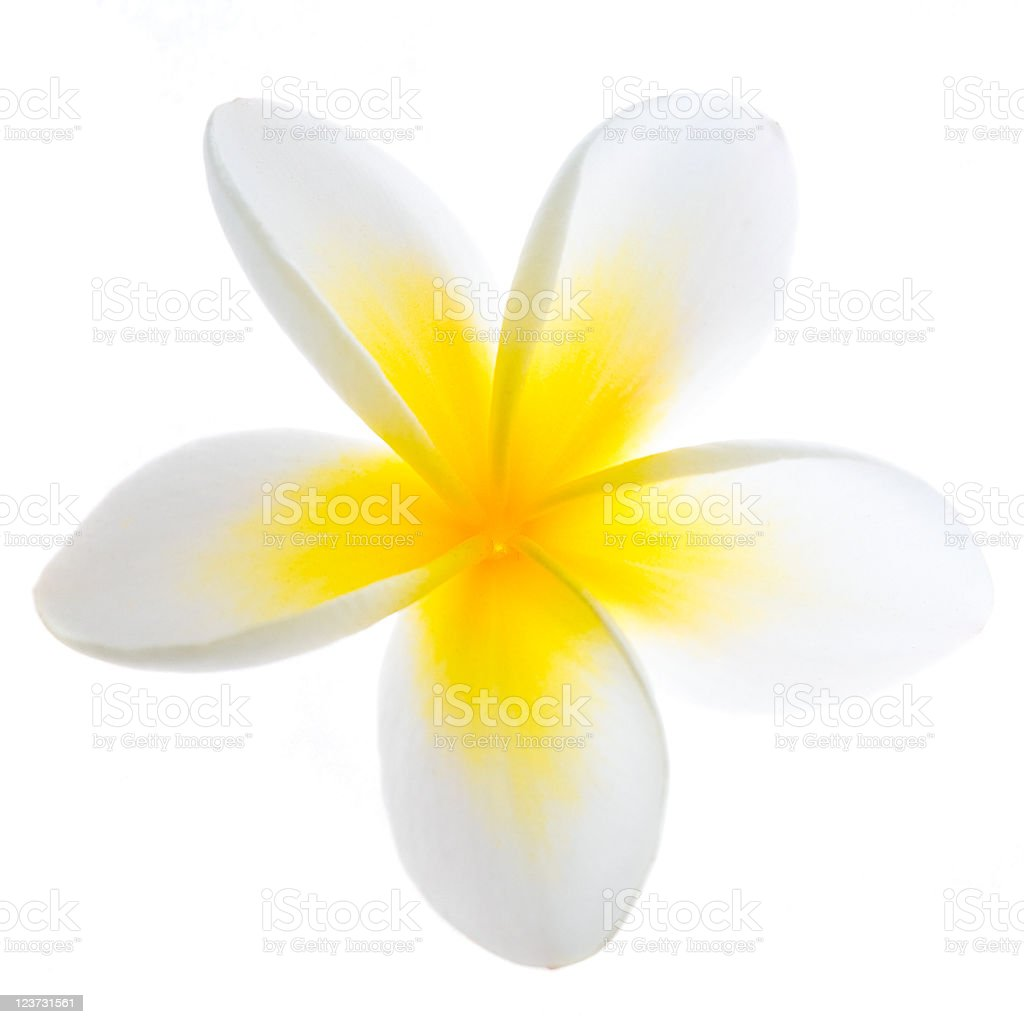 A yellow and white frangipani flower stock photo