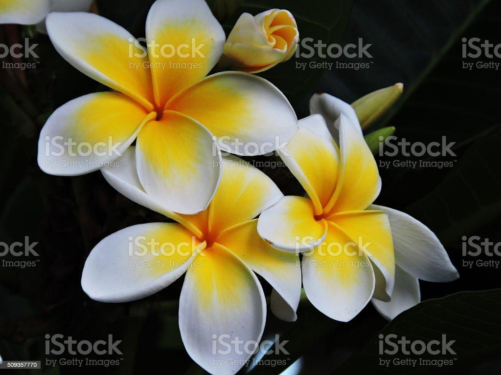 Yellow and White Frangipani Flowers stock photo