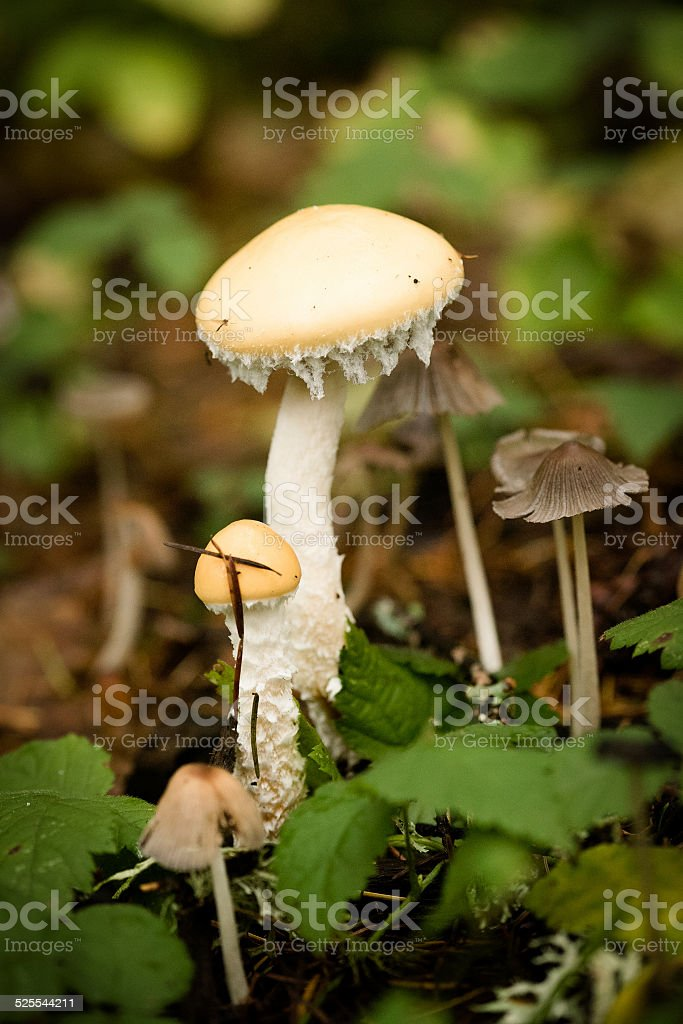 Yellow and White Mushroom in the forest stock photo