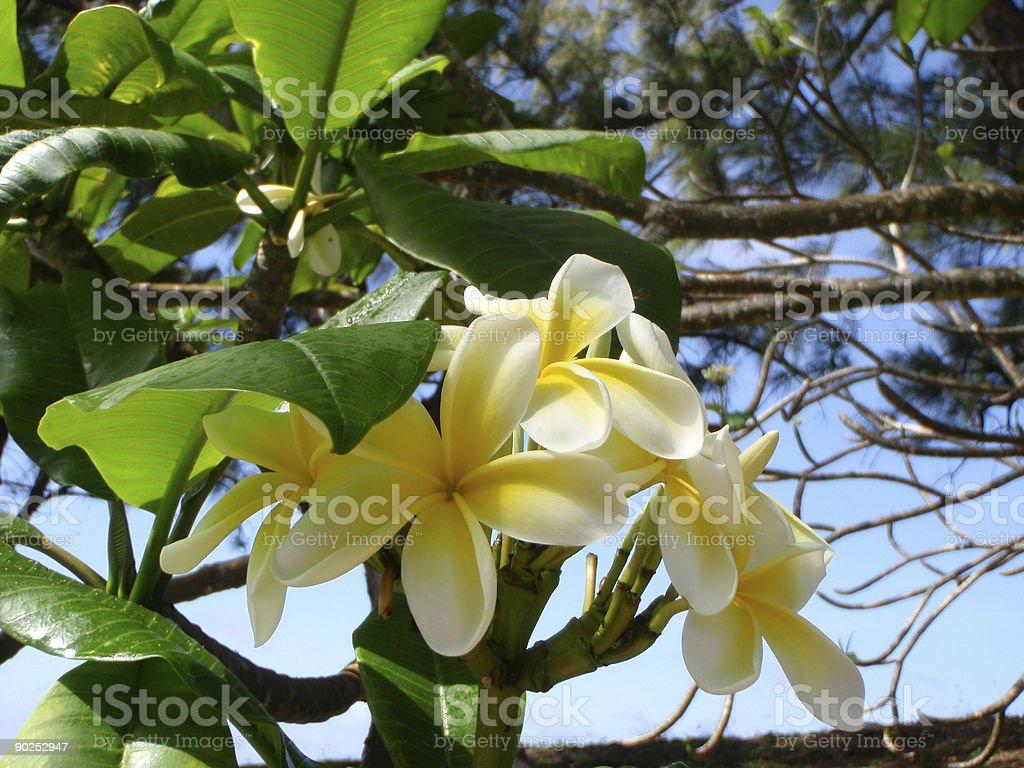Yellow and white Plumeria in Barbados stock photo