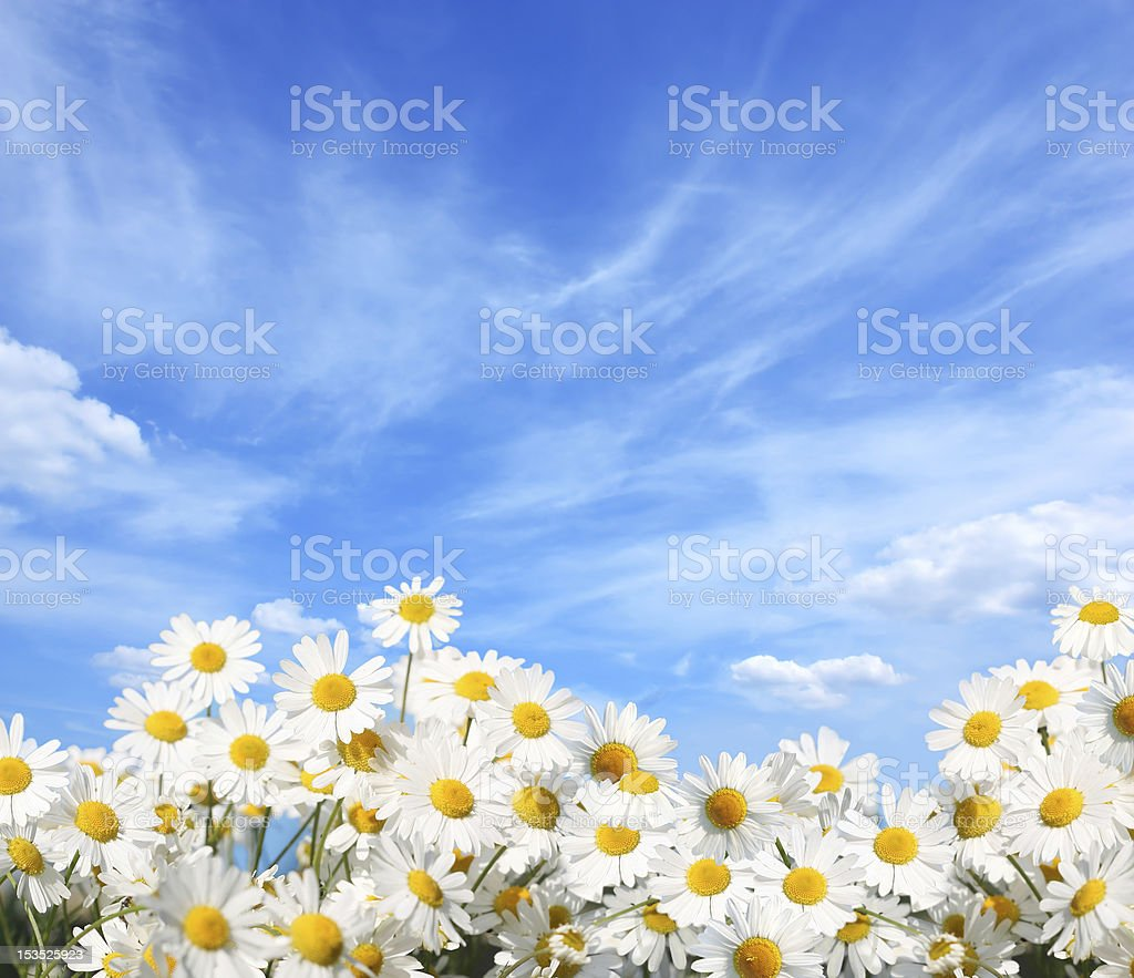 Yellow and white pretty daisies in a field stock photo