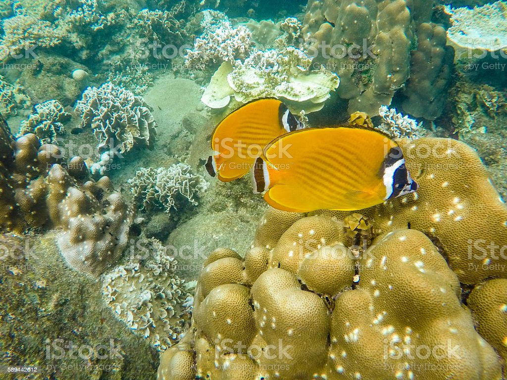 Yellow angel fish underwater stock photo