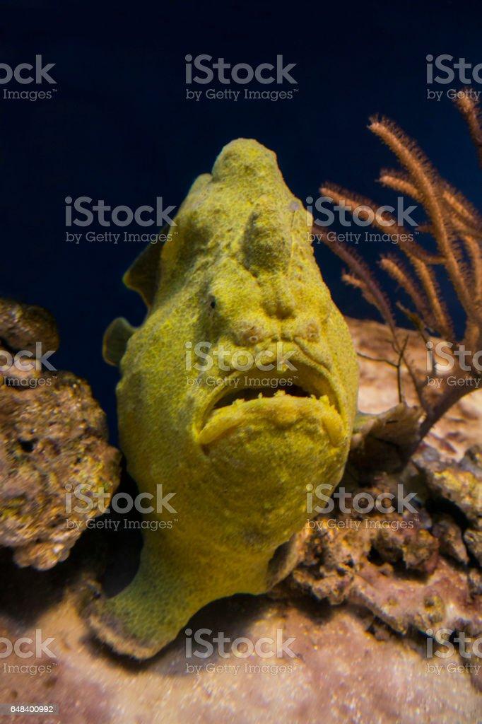 Yellow Angler fish, Frogfish (Antennarius Commersonii) stock photo