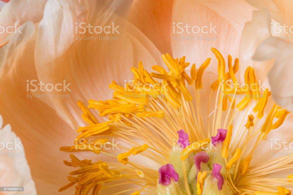 Yellow anther peony flower macro still stock photo