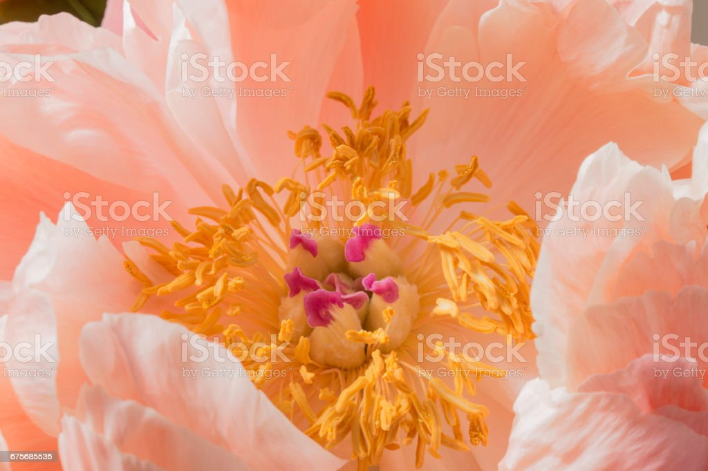 Yellow anthers and pistil on a peony flower in bloom stock photo