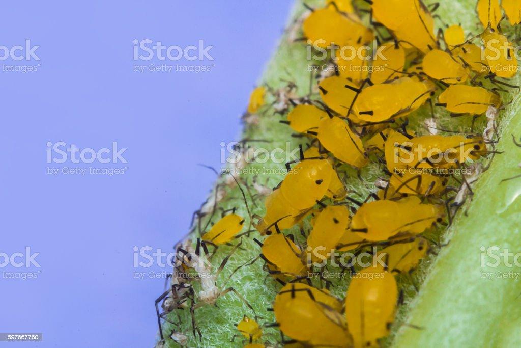 Yellow Aphids Macro stock photo