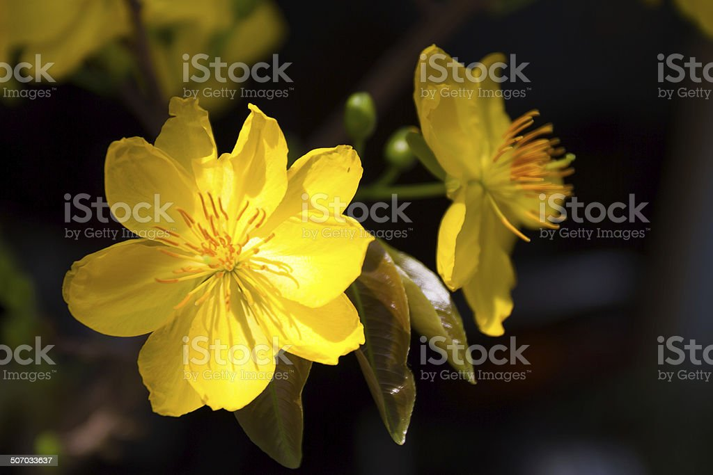 yellow apricot blossom stock photo