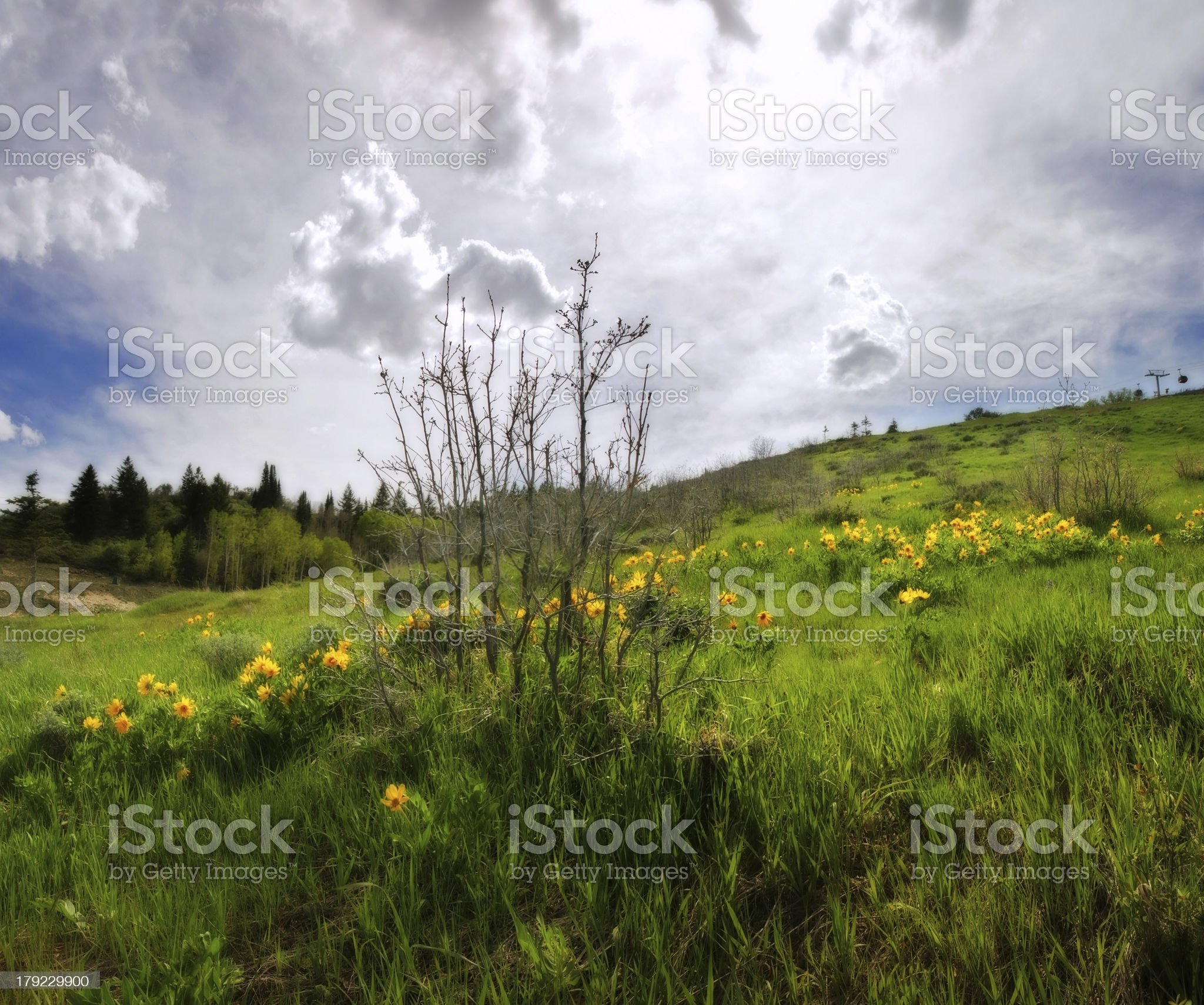 Yellow Arrowleaf Balsamroot wildflowers in spring Rocky Mountains royalty-free stock photo