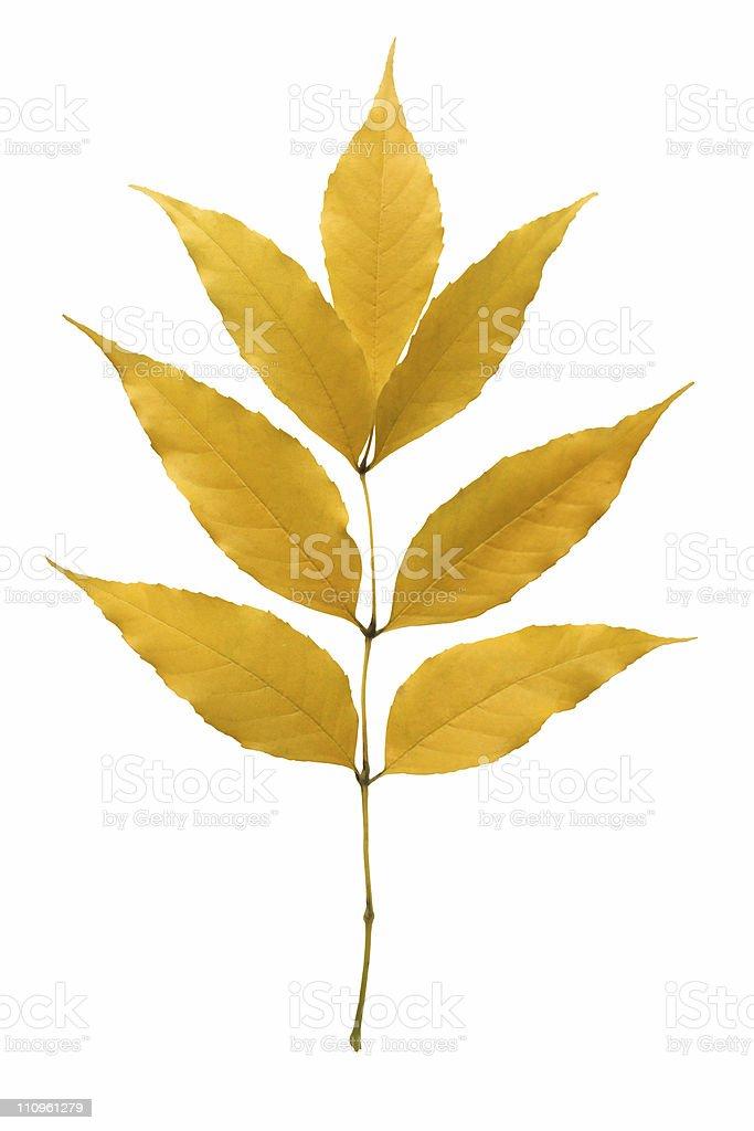 Yellow ash leaf. royalty-free stock photo