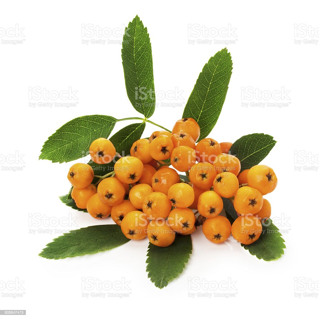 yellow ashberry isolated on the white background stock photo