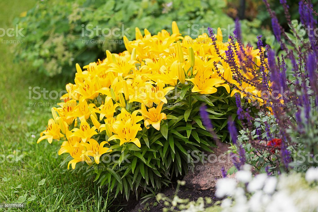 Yellow Asiatic Lilies and Purple Salvia Flowers stock photo